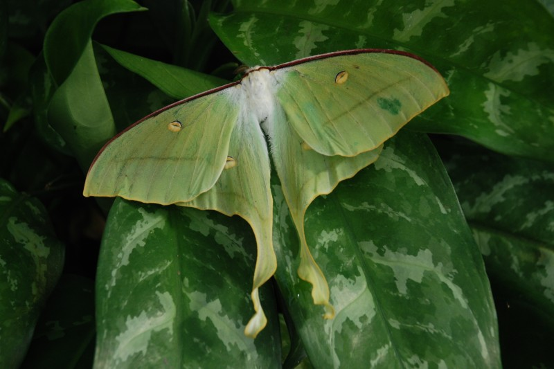 Actias Selene / Indian Moon Moth